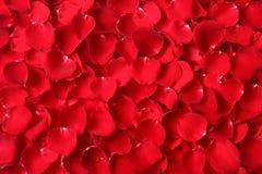 Red rose petal Stock Image