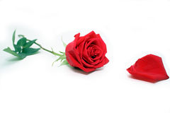 Red rose with petal Royalty Free Stock Images