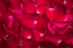 A red rose petal. Arrange like a background stock photo