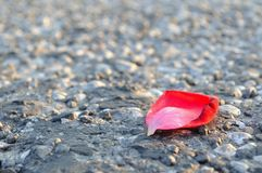 Red rose petal on asphalt Royalty Free Stock Images