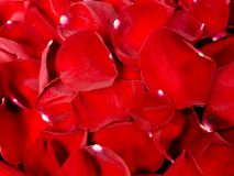 Red rose petal background Royalty Free Stock Image