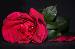 Red rose and petal fallen. Lying red rose close-up on dark background Stock Images