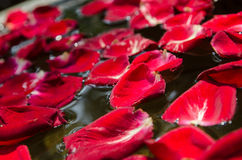 The red rose petal is floating on water Royalty Free Stock Image