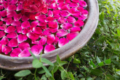 Red rose petal floating water royalty free stock images