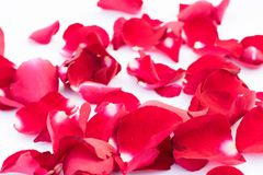 Red rose petal on the ground. Beauty red rose petal on white background Royalty Free Stock Image