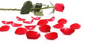 Red rose and petal. Stock Images