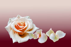 Red rose with petal. Light rose with green sheet and drop royalty free stock photos
