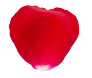 Red rose petal macro. The closeup of red rose petal on a white background royalty free stock photos