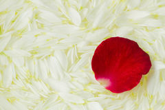 Red rose petal on white Stock Photography