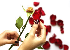 A red rose petal in woman hand. Close up of a red rose petal in hand Stock Images
