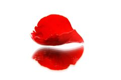Red rose petal wth reflection over white Stock Images