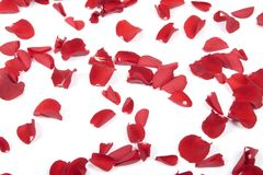 Red rose petals. On the white background royalty free stock photography