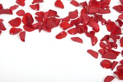 Red rose petals. On the white background stock photo
