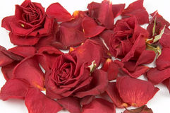 Red rose petals. And bud over white background Royalty Free Stock Photography