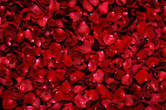 Red rose petals. Background of red rose petals Royalty Free Stock Images