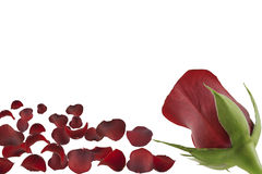 Red rose with petals Royalty Free Stock Photo