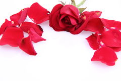 Red rose and petals Stock Image