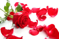 Red Rose & Petals Stock Image