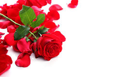 Red Rose & Petals Royalty Free Stock Photos