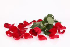 Red rose with petals Stock Images