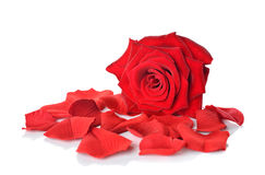 Red rose and petals. On white background stock photos