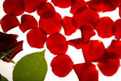 Red rose and petals. Red rose bud and sparsed petals near it stock photography