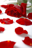 Red rose and petals. Red rose bud and sparsed petals near it stock image