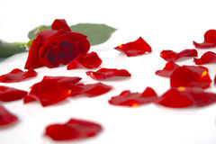 Red rose and petals. Red rose bud and sparsed petals near it royalty free stock photos