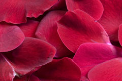 Red rose petals. Background of red and purple rose petals with a velvet surface Royalty Free Stock Image