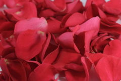 Red rose petals. Scattered Valentines red rose petals royalty free stock photography