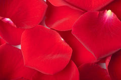 Red rose petals background Stock Image