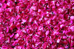 Red rose petals background. Many red rose petals background royalty free stock image