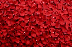 Red Rose Petals Background. Real Roses Petals Backdrop. Floral Backgrounds Photo Collection stock image