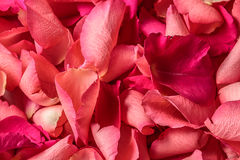 Red rose petals background. Closeup Stock Photography