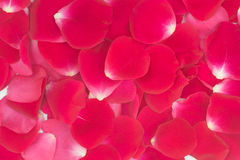 Red rose petals background Royalty Free Stock Photo
