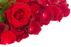 Red rose with petals border. Isolated on white background royalty free stock photography