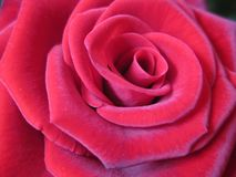 Red rose petals in a close-up shot. A close-up of a pale red rose with velvet-like texture of its petals. The petals overlap each other forming a swirl right to royalty free stock photos