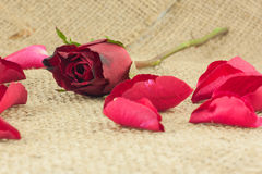 Red Rose Petals Falling On A Piece Of Vintage Sackcloth. Royalty Free Stock Image