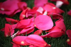 Red rose petals with few of them in focus Stock Images