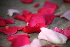 Red rose petals with few of them in focus Royalty Free Stock Photography