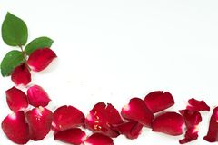 Red Rose petals are framed isolated on white. Royalty Free Stock Photos