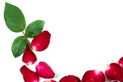 Red Rose petals are framed isolated on white. Stock Images