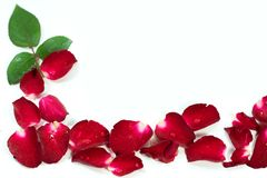 Red Rose petals are framed isolated on white. Royalty Free Stock Images