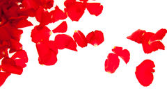 Red rose petals isolated Royalty Free Stock Images