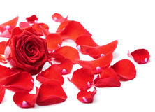 Red rose petals isolated Royalty Free Stock Image