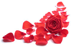 Red rose petals isolated Stock Image
