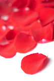 Red rose petals isolated Stock Images