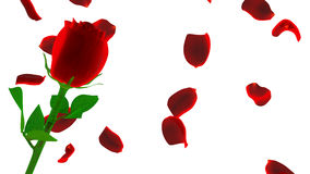 Red rose with petals isolated on white Stock Photo