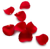 Red rose petals. Isolated on white background stock photography