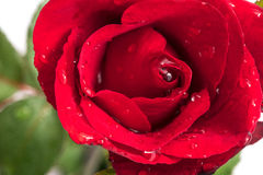 Red rose petals with rain drops closeup. Red Rose. Stock Images